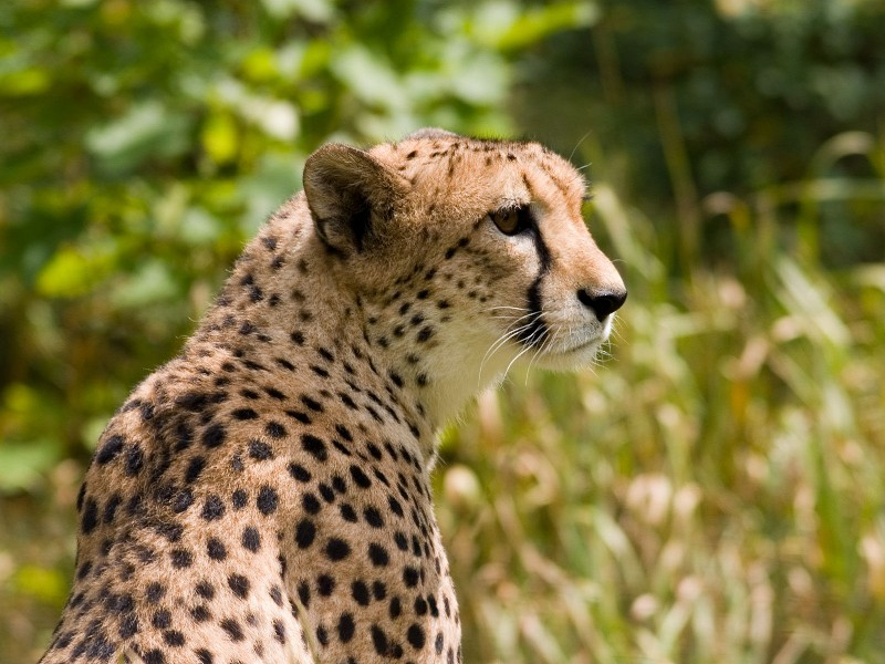 Wallpaper, tapeta, pozadí Gepard - Gepard neboli Leopard.